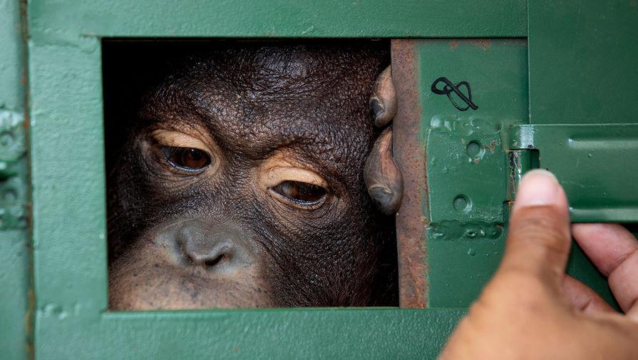 Тайский офицер закрывает клетку c 10-летней самкой орангутанга Колой в аэропорту Суварнабхуми в Бангкоке перед отправкой в Индонезию, 20 декабря 2019 года. Власти Таиланда репатриировали двух орангутангов в их родные места обитания в Индонезии в рамках совместных усилий по борьбе с незаконной торговлей дикими животными