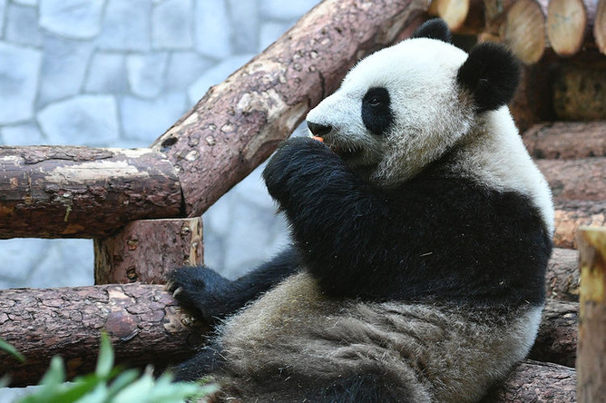 Одна из двух больших панд, переданных Китаем Московскому зоопарку, 5 июня 2019 года