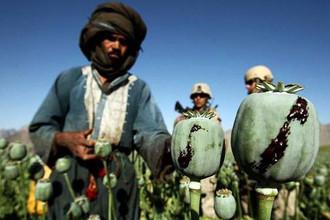Площади, засеянные опийным маком, в Афганистане выросли в 2013 году на 36%
