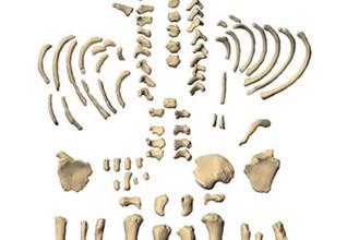 Виртуальная реконструкция посткраниального скелета новорожденного неандертальца из Мезмайской пещеры.