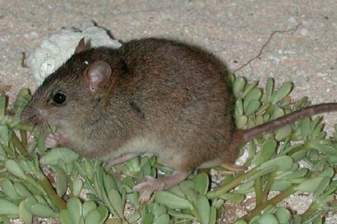 Крыса Melomys rubicola