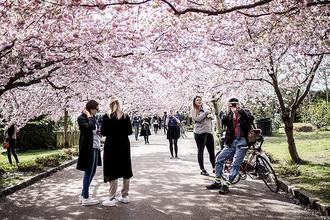 Цветущие вишневые деревья в одном из парков Копенгагена