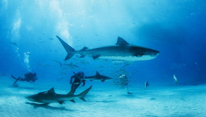 Древние акулы пережили массовое вымирание. Ученые не знают, в чем причина