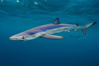 На этой фотографии можно лицезреть синюю акулу — одну из самых распространенных акул на планете