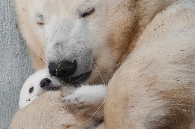 «Укачала Умка маму». Первое за 42 года рождение в зоопарке белого медвежонка стало событием для всего Новосибирска, имя выбирали всем городом. Категория «Природа»