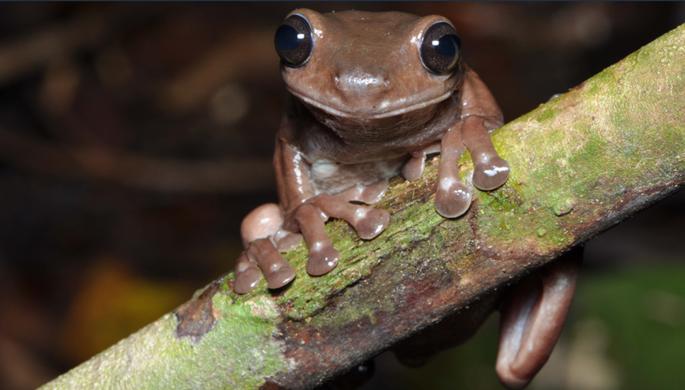 Ученые открыли «шоколадных» лягушек в Новой Гвинее