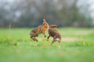 А на этой фотографии запечатлены кролики, радостно прыгающие на одной из британских опушек