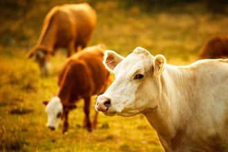 «Корова — это нестиральная машинка»
