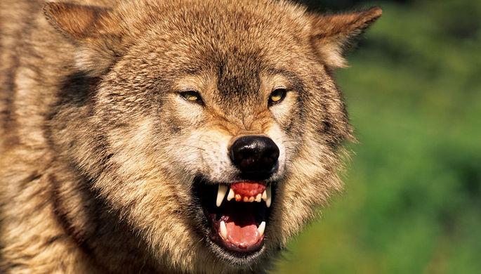 Страшная судьба: русские волки дошли до финской прокуратуры