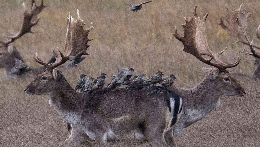 Скворцы спасаются от дождя на спинах оленей в заповеднике Менхбруха, 8 декабря 2019 года