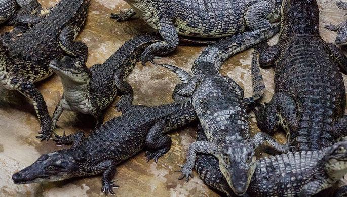 Крокодила-людоеда весом полтонны поймали после серии убийств