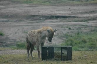 Одна из участниц эксперимента — пятнистая гиена — смотрит на закрытую клетку с едой.