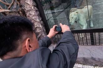 Мужчина фотографирует львицу в Центральном зоопарке Пхеньяна