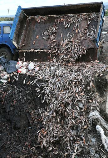 Сбор и утилизация погибшей рыбы в форелевом хозяйстве «Изербель» в поселке Майна., 2009 год
