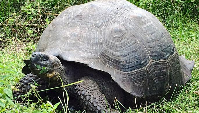 Галапагосская черепаха Chelonoidis donfaustoi.
