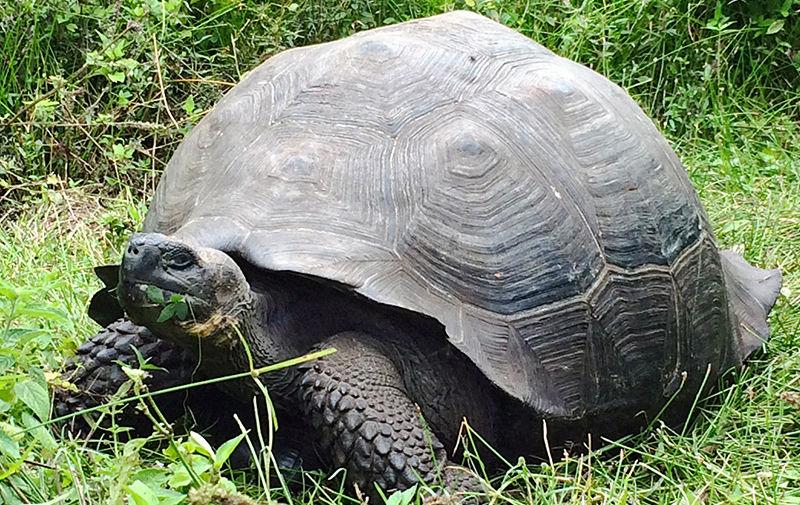 Галапагосская черепаха Chelonoidis donfaustoi. Chelonoidis donfaustoi считались подвидом галапагосских черепах, обитающих на острове Санта-Крус. Однако генетические и морфологические исследования выделили этих рептилий в отдельный вид животных. На острове обитает порядка 250 особей