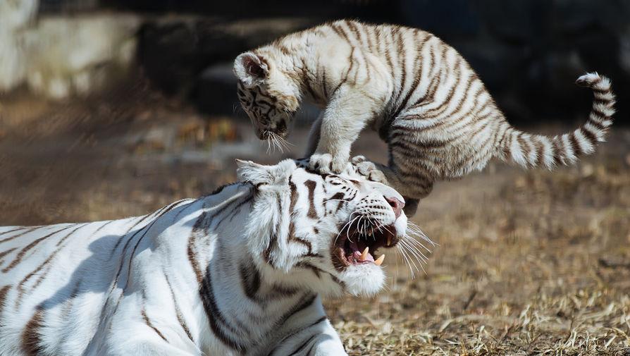 Тигрёнок белого бенгальского тигра играет в вольере. В 2015-ом году Новосибирский зоопарк занял 9-е место среди зоопарков Европы и вошел в 20 лучших в мире по рейтингу известного сайта о путешествиях TripAdvisor.