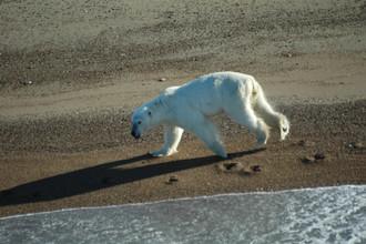 В начале осени белые медведи концентрируются на побережье в поисках пищи. Часть из них летом ушла на север, вместе со льдами. Оставшиеся ждут возвращения льдов.