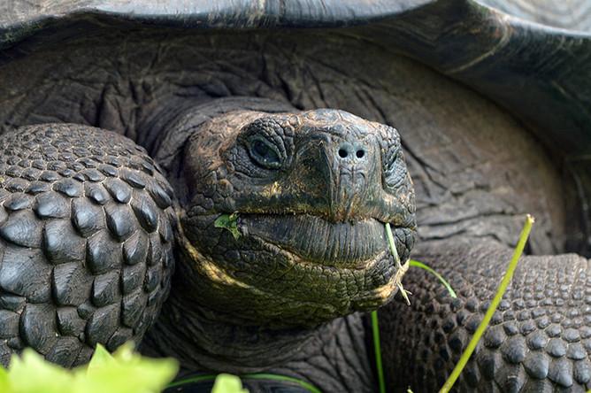 Галапагосская черепаха Chelonoidis donfaustoi