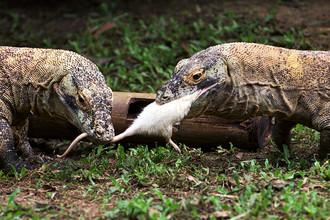 Комодские вараны в Национальном парке Комодо
