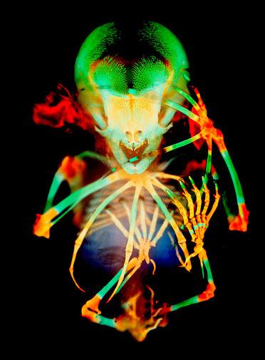 Скелет эмбриона короткохвостой плодовой летучей мыши