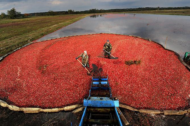 Сбор клюквы в крупном белорусском хозяйстве «Полесские журавины»