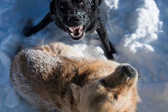 «В Тикси собаки северные, рослые»