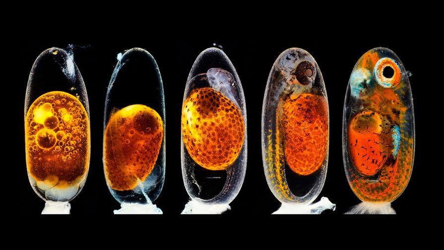 Пять стадий эмбрионального развития рыбы-клоуна