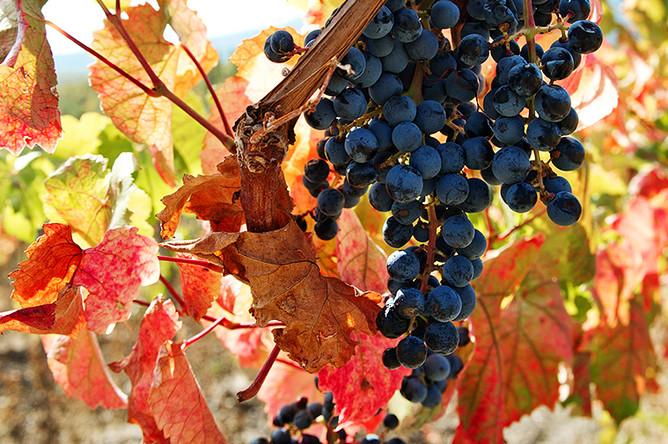 Виноград в окрестностях Алушты в Крыму, 2016 год