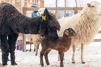 Рожденную на ВДНХ овечку назвали Любашей, 19 февраля 2019 года