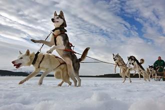 Гонки на собачьих упряжках приобретают популярность во всем мире