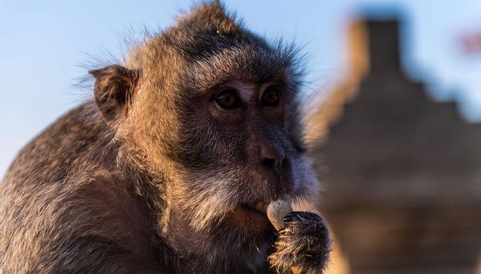Мартышкин труд: что обезьянки на Бали воруют у туристов