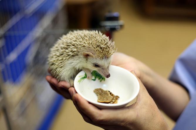 Волонтер Ира кормит ежа в Живом уголке