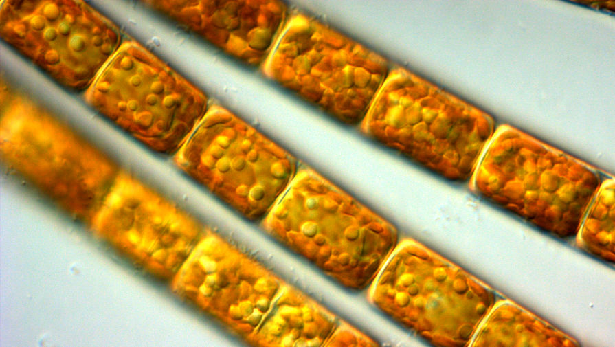 Описана библиотека ДНК-штрихкодов диатомовых водорослей