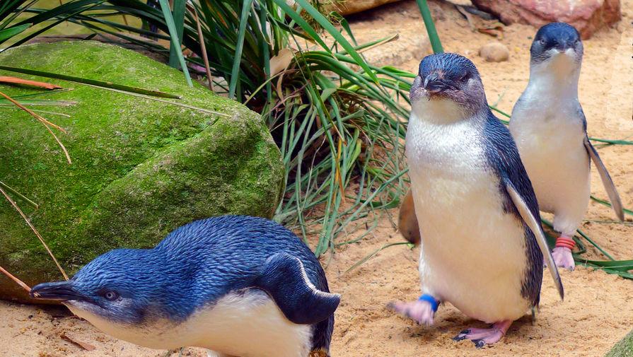 Видео с выплывающими на пляж голубыми пингвинами умилило пользователей соцсетей