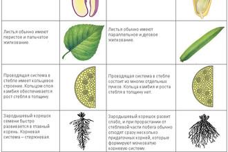 Чем различаются однодольные и двудольные растения