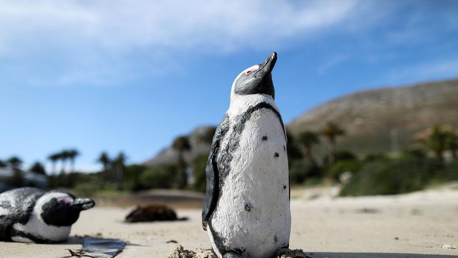 Рой пчел убил в Африке 63 пингвина