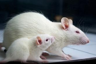 Ученые нашли соединение, которое справилось со смертельной инфекцией почек у крыс