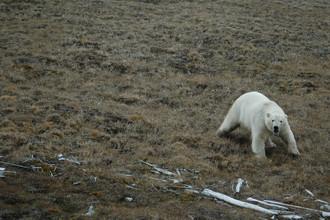Средняя встречаемость арктического хищника на обследованном участке составила один медведь на 150 км. Столь малое количество встреч белых медведей — тревожный сигнал.