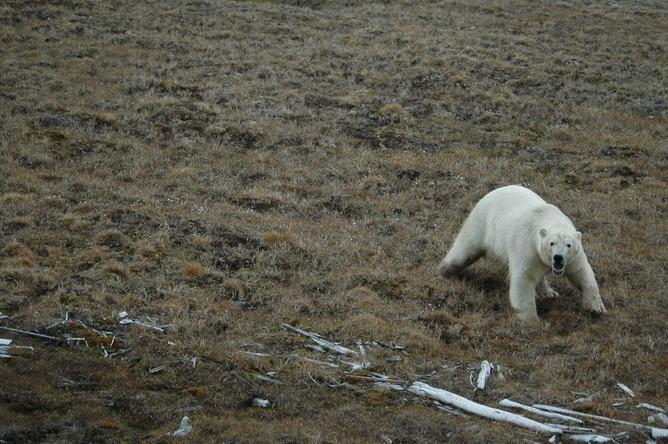 Режим ЧС ввели на архипелаге Новая Земля из-за нашествия медведей