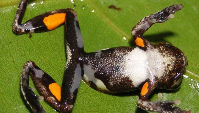 Лягушкам грозит массовое вымирание из-за «чумы амфибий»
