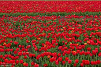 Километры тюльпанов