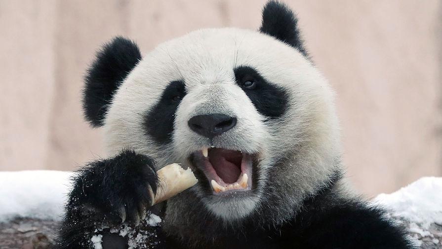 Двухлетняя самка большой панды Диндин в павильоне панд Московского зоопарка, 23 января 2020 года