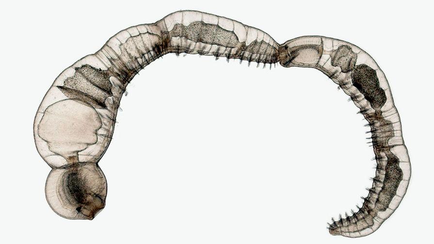 Цепочка дочерних особей бесполых размножающихся видов кольчатых червей