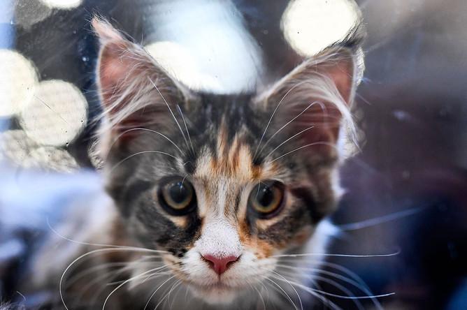 Котенок породы мейн кун на международной выставке кошек «Кэтсбург-2016» в МВЦ «Крокус Экспо»