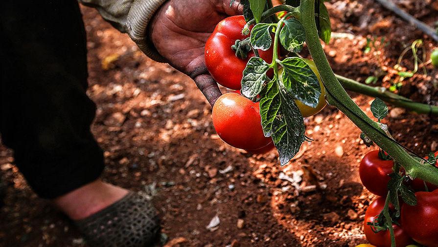Почему в овощах с грядки нитратов может быть больше, чем в китайских помидорах