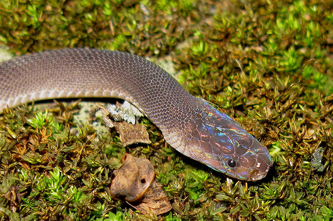 Змея Parafimbrios Lao