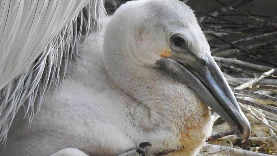 В Дагестане назвали причину массовой гибели пеликанов
