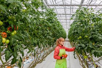 Овощеводы ждут локализации тепличных конструкций