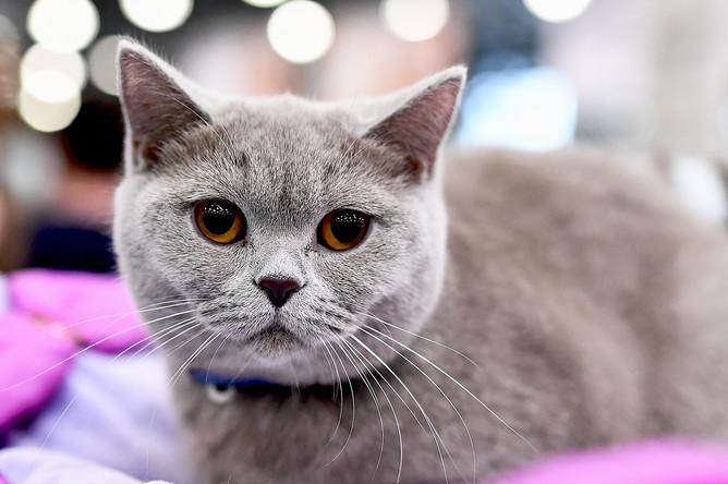 Кошка породы британская